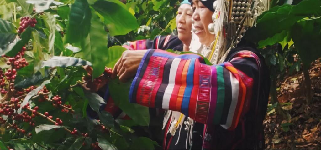 ชาวอาข่าที่ร่วมปลูกและวิจัยสายพันธุ์กาแฟไทย